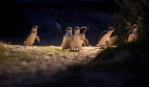 melbourne,victoria,australie,penguin ,parade,phillip island